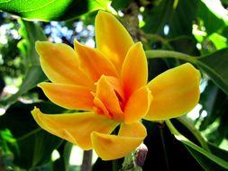 Image of <i>Michelia champaca</i>