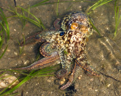 Image of California two-spot octopus