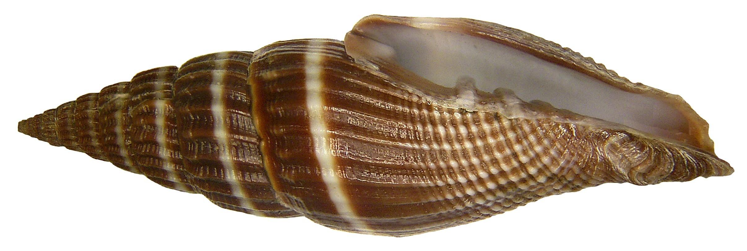 Image of <i>Vexillum formosense</i> (G. B. Sowerby Iii 1889)