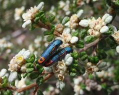 Image of jewel beetles