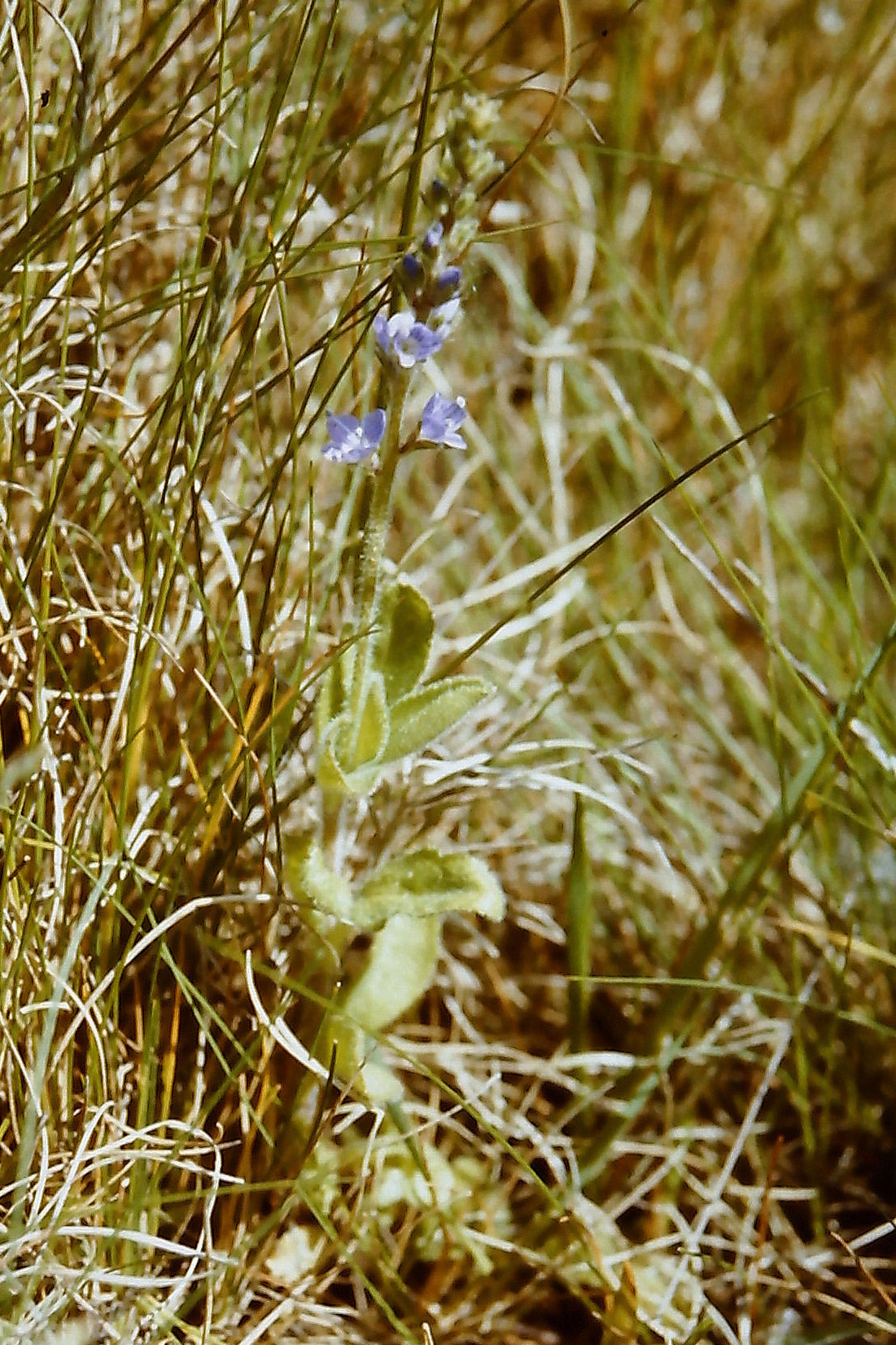 Image of Health Speedwell