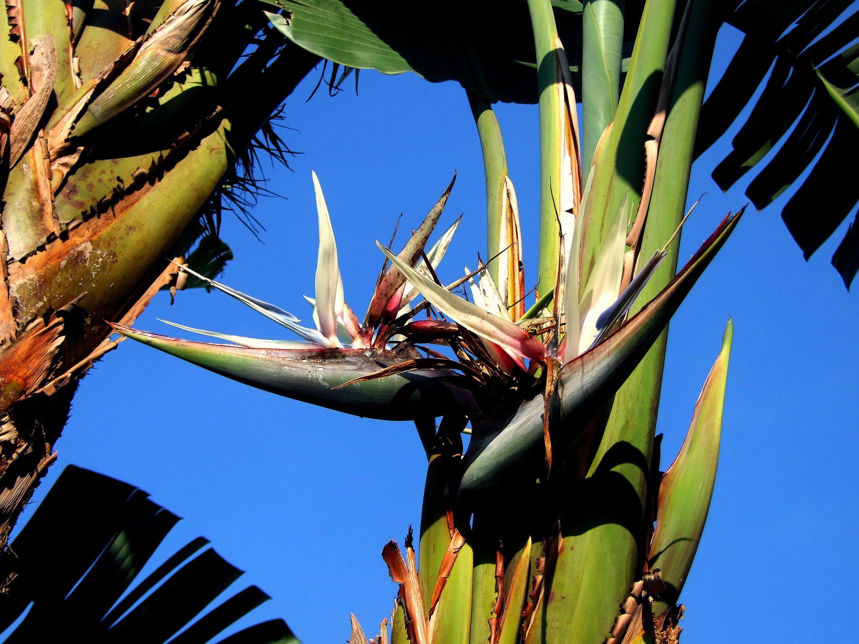 Image of Natal wild banana