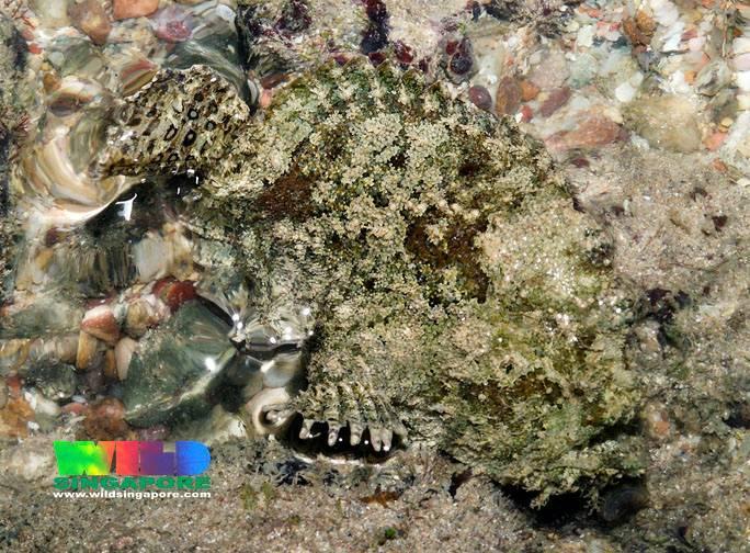 Image of three-spot frogfish