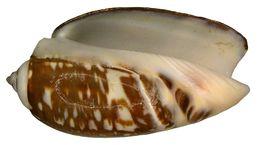 Image of <i>Olivanchillaria gibbosa</i>