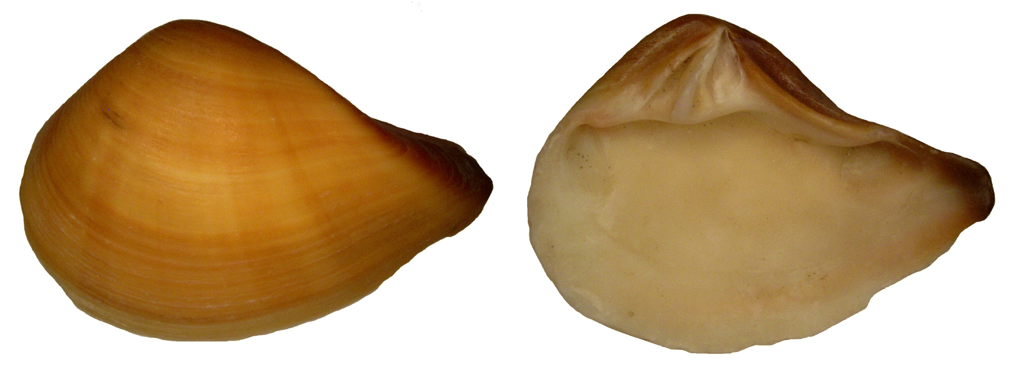 Image of <i>Eucrassatella gibbosa</i> (G. B. Sowerby I 1832)