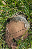 Image of <i>Calvatia excipuliformis</i>
