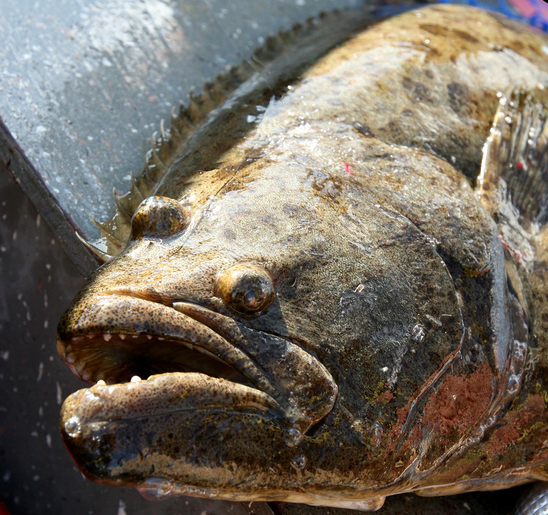 Image of Fine Flounder