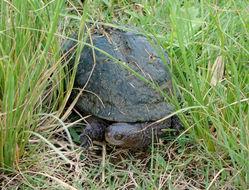 Image of Black Spiny-necked Swamp Turtle
