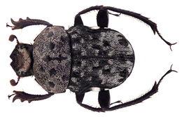 Image of <i>Gymnopleurus</i> (<i>Metagymnopleurus</i>) <i>gemmatus</i> (Harold 1871)