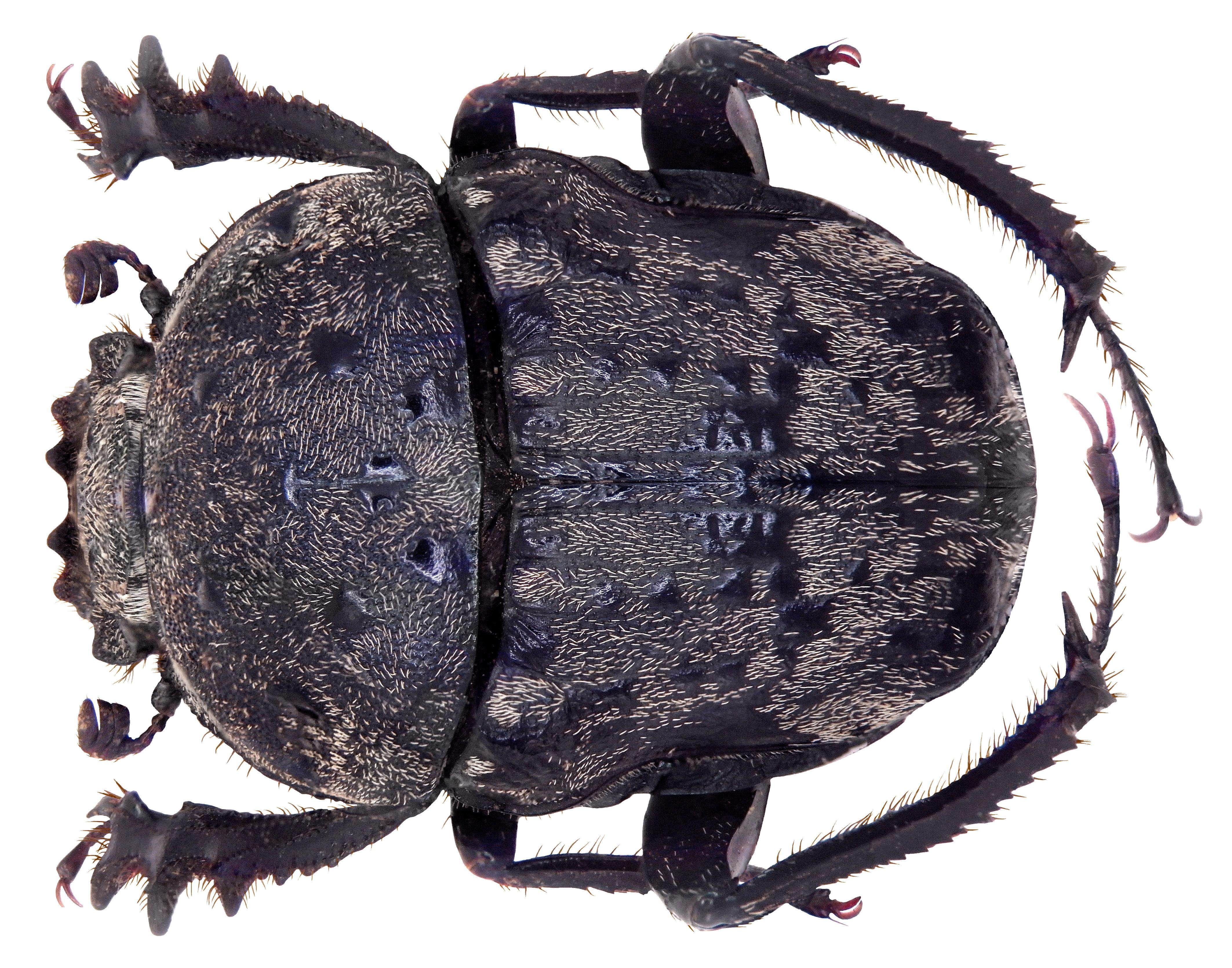 Image of <i>Gymnopleurus spilotus</i>