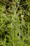 Image of <i>Melilotus alba</i>