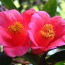 Image of Hong Kong Camellia