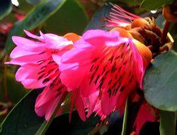Image of <i>Rhodoleia championii</i> Hook.