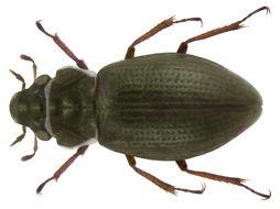Image of <i><i>Ochthebius</i></i> (Ochthebius) <i>pusillus</i> Stephens 1835