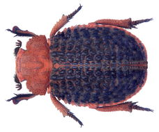 Image of <i>Trox baccatus</i>