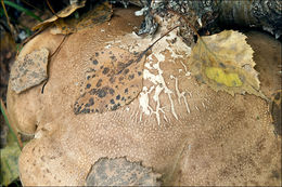 Image of <i>Piptoporus betulina</i>