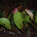 Image of <i>Ocotea endresiana</i> Mez