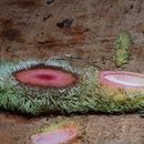 Image of <i>Philodendron verrucosum</i> L. Mathieu ex Schott