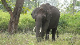 Image of Indian elephant
