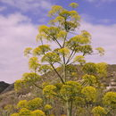 Image of Giant Fennel