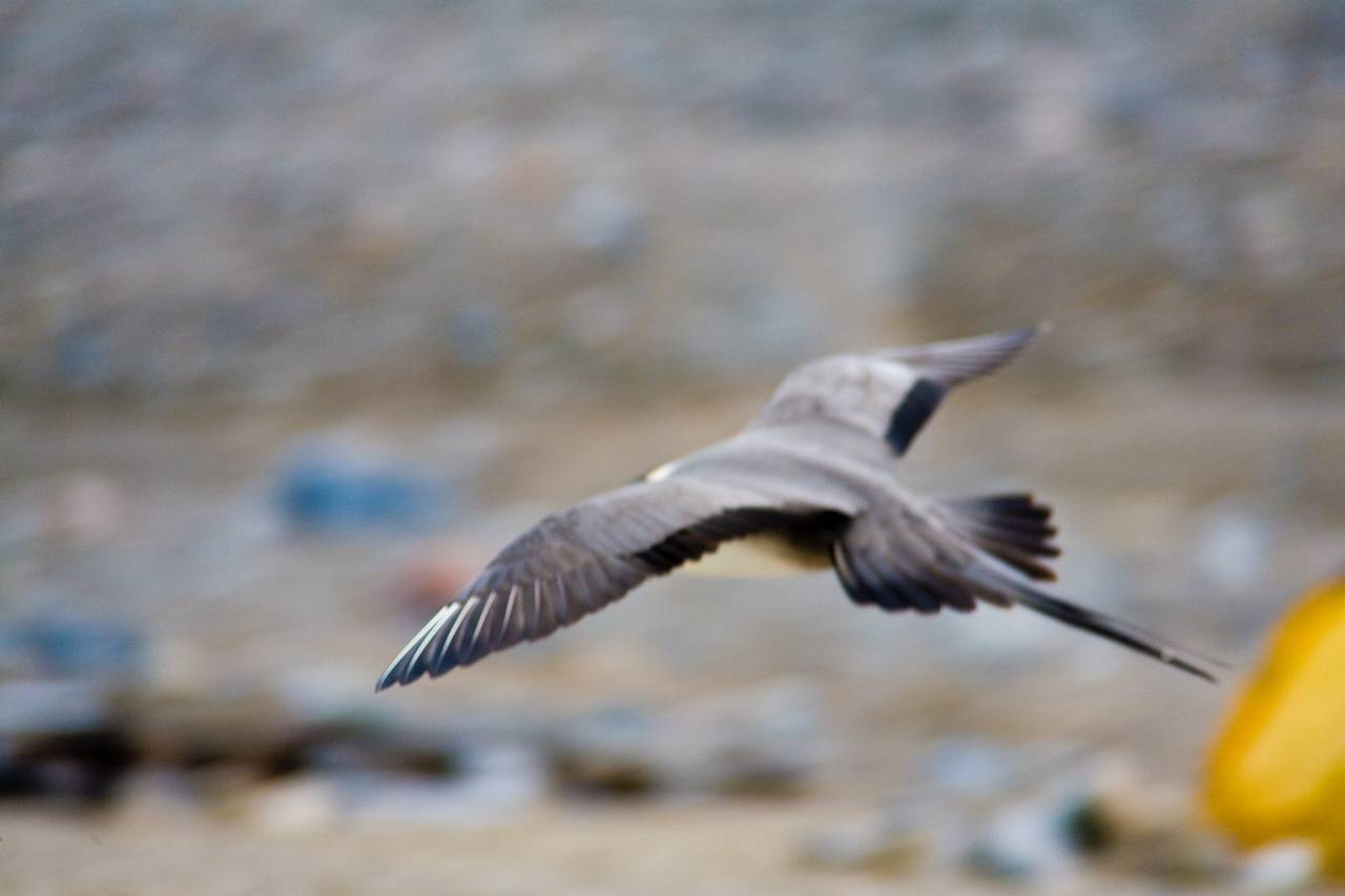 Image of Long-tailed jaeger