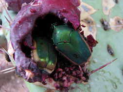Image of figeater beetle