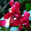 Image of ORCHIDACEAE - Dendrobium hybrid