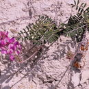 Image of <i>Hedysarum boveanum</i> Basiner