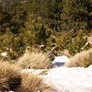 Image of Hartweg's Pine