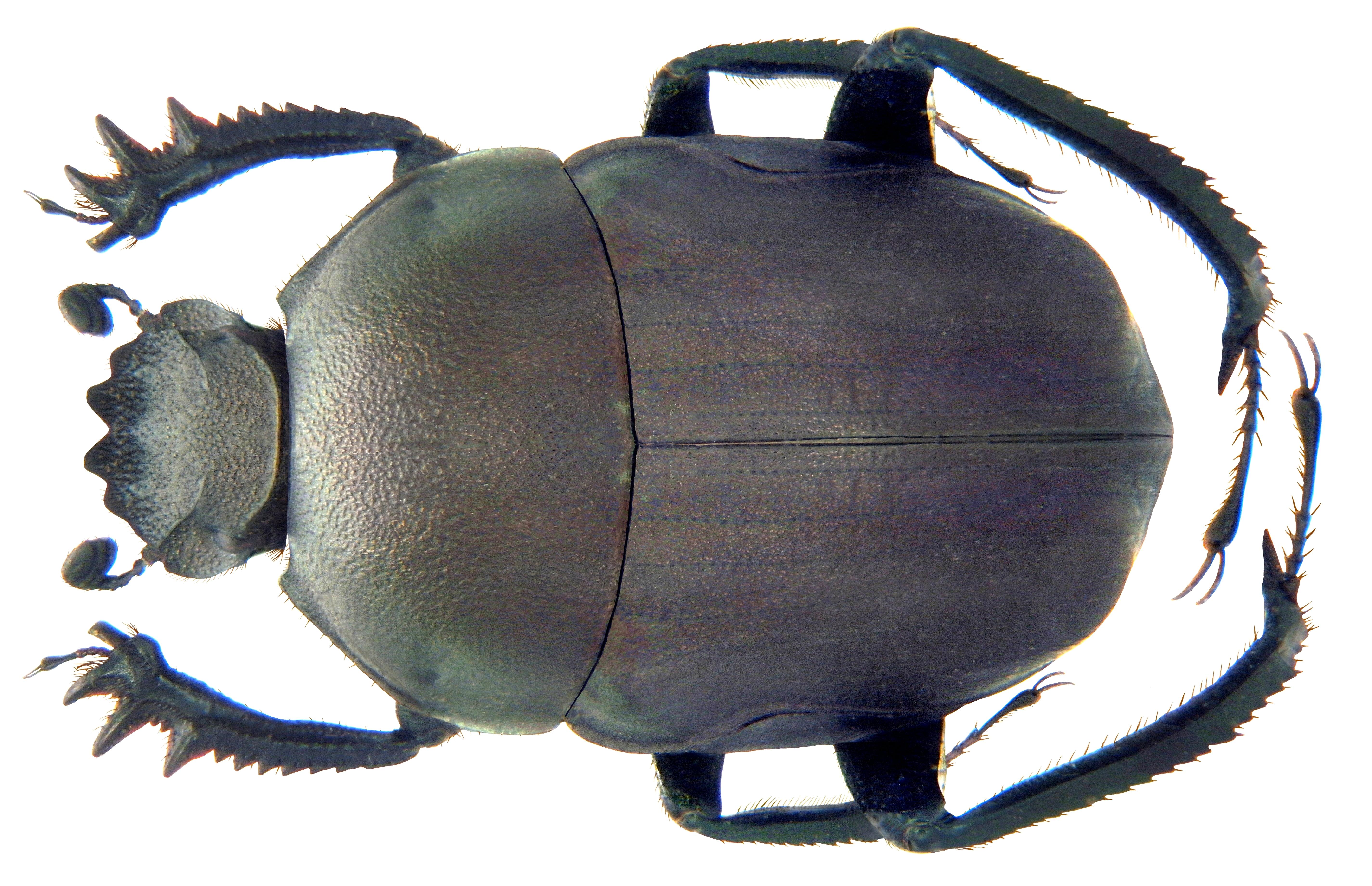 Image of <i>Garreta opacus</i> (Redtenbacher 1848)