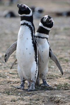 Image of Magellanic Penguin