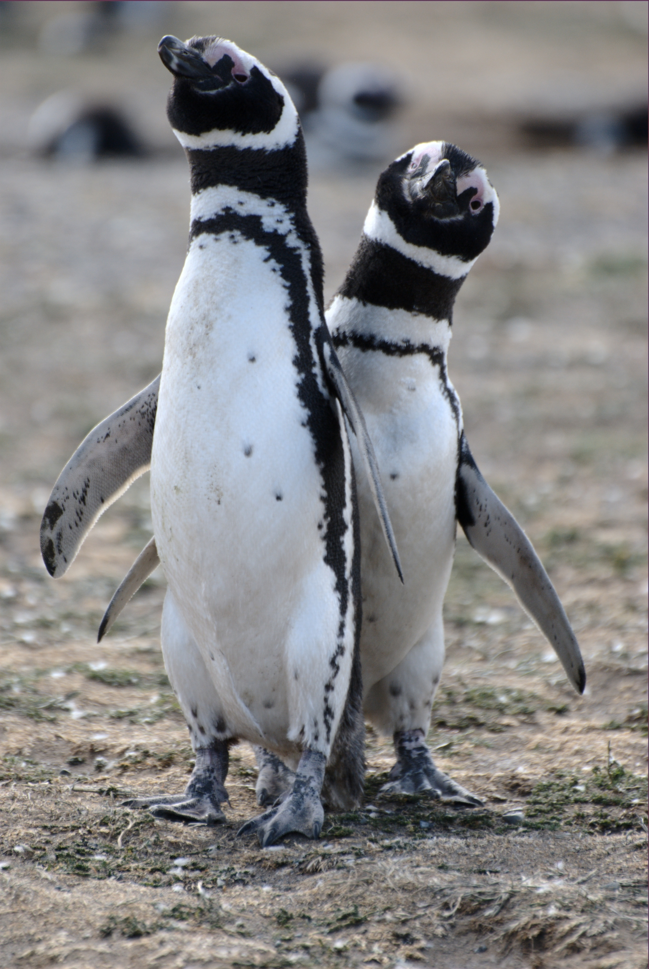 Image of Magellanic Penguin
