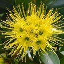 Image of Golden Penda