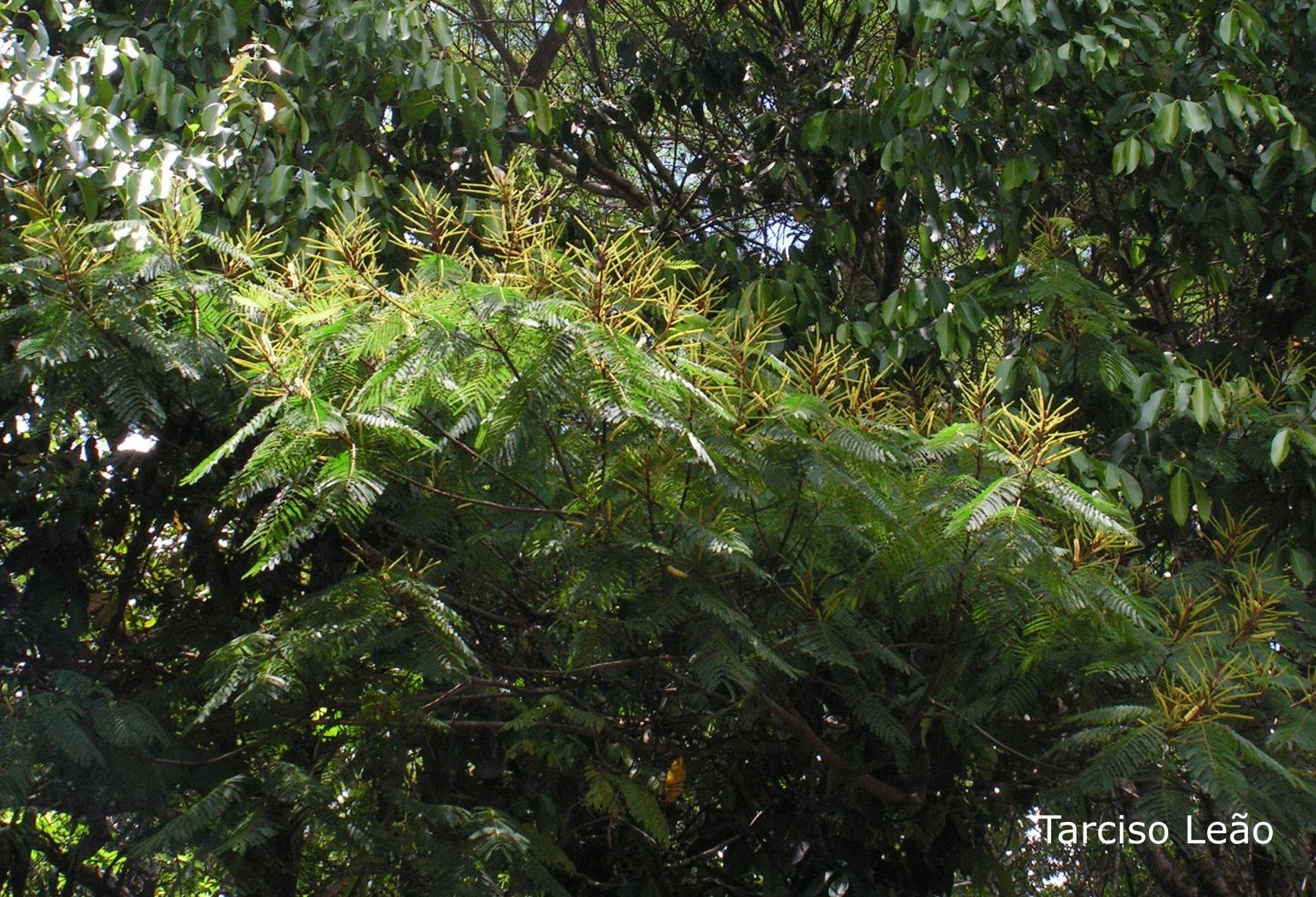 Image of <i>Stryphnodendron pulcherrimum</i> (Willd.) Hochr.