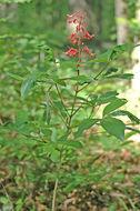 Image of red buckeye