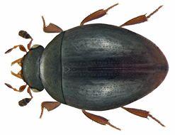 Image of <i>Megasternum concinnum</i> (Marsham 1802)