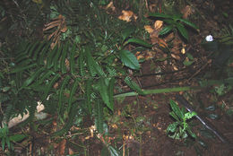 Image of mother ferns and dotted ferns