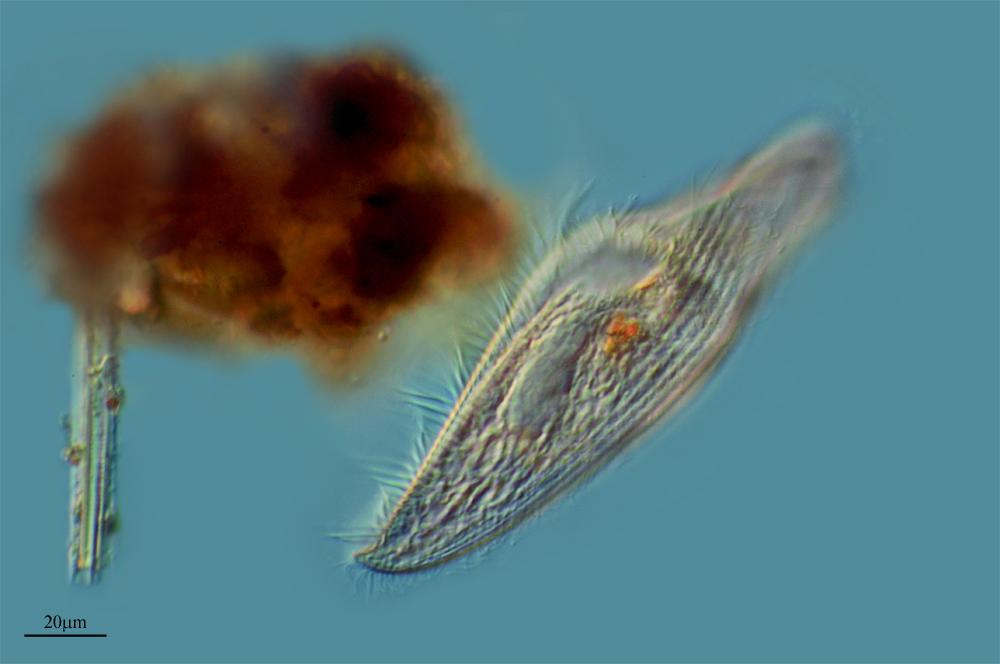 Image of <i>Blepharisma seculum</i> Isquith, Repak & Hirshfield 1965