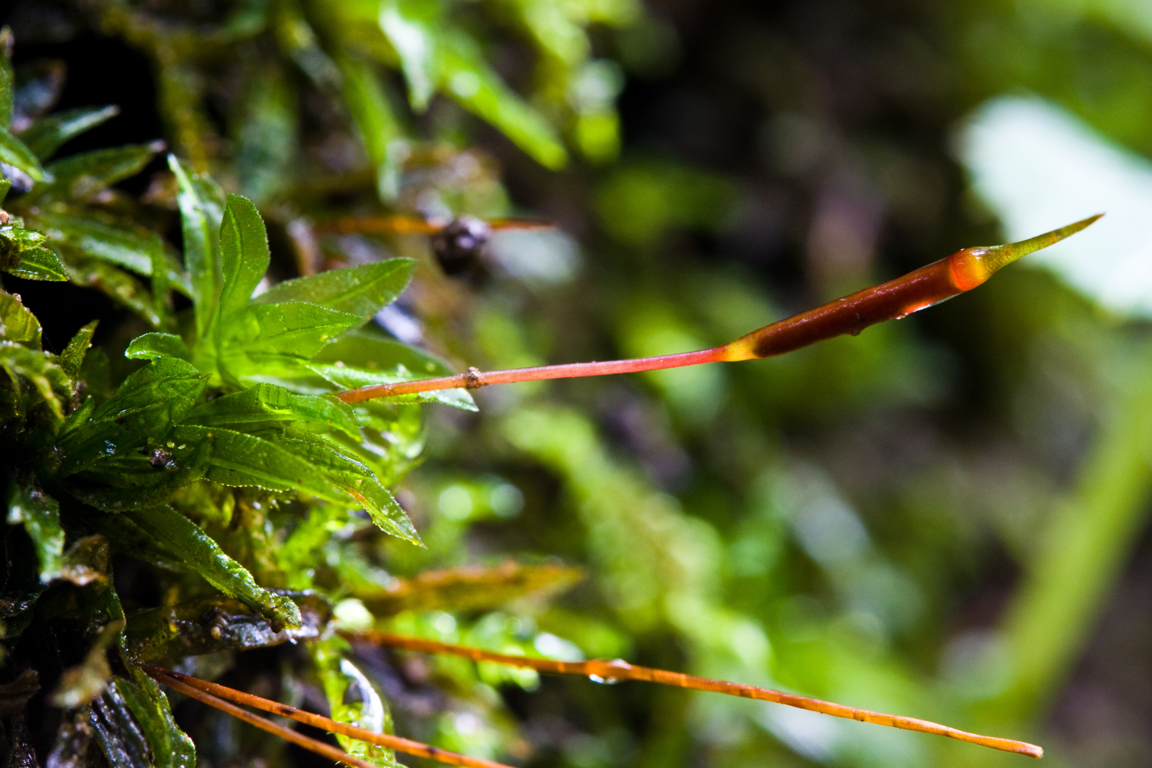 Image of Selwyn's atrichum moss