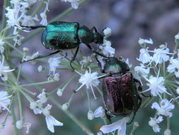 Image of Noble chafer