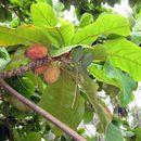 Image of <i>Terminalia catappa</i> L.