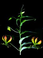 Image of Flame Lily