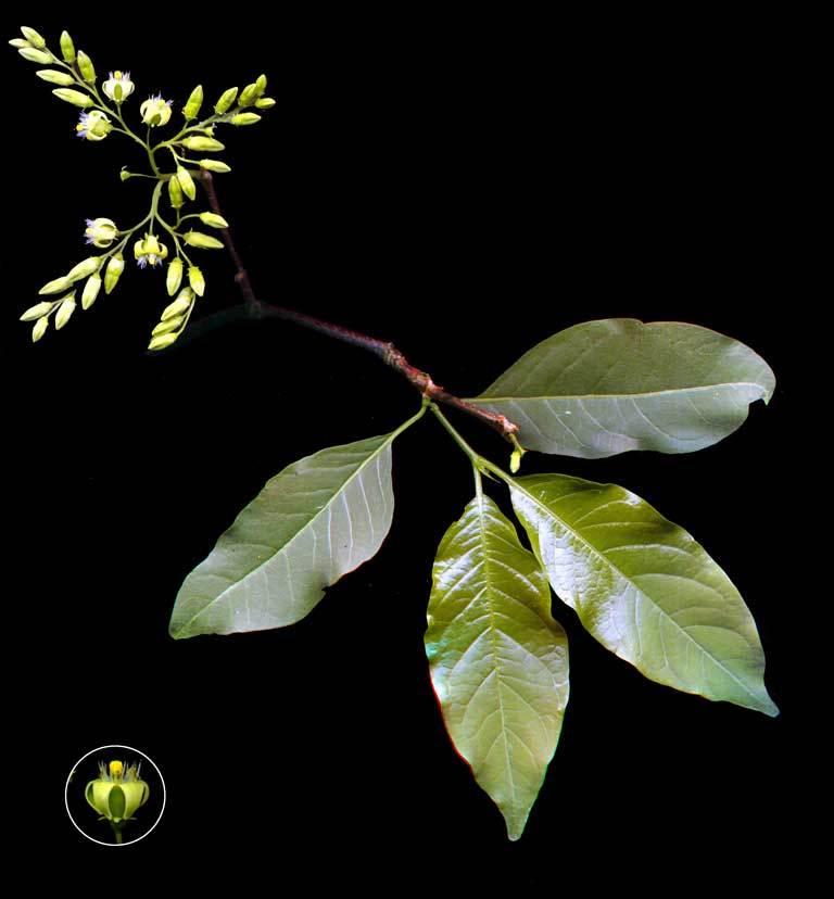 Image of <i>Vangueria apiculata</i> K. Schum.