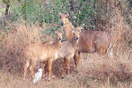 Image of nilgai