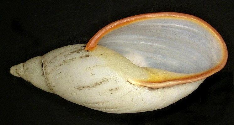 Image of <i>Placostylus miltocheilus stramineus</i>