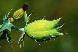 Image of carolina poppy