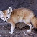 Image of Fennec