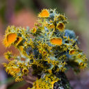 Image of teloschistes lichen