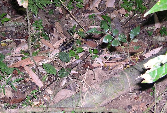 Image of Lowland Streaked Tenrec