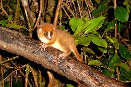 Image of Mouse Lemurs